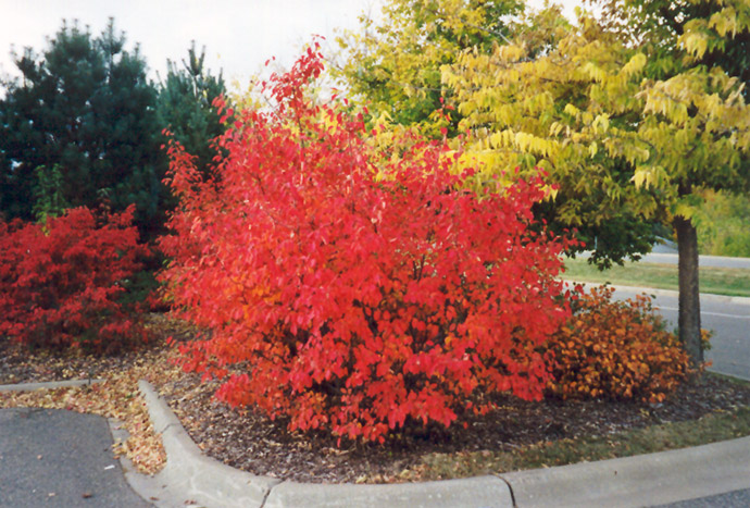 Red Chokeberry Aronia Arbutifolia In Oklahoma City