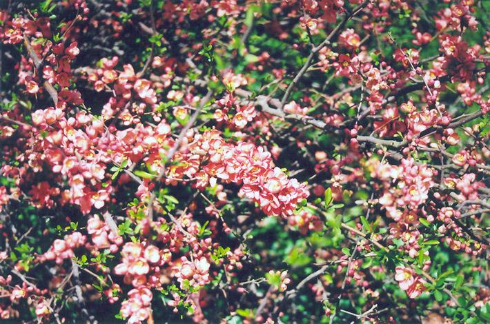 Tlc Landscaping & Garden Center Common flowering quince chaenomeles speciosa in oklahoma city common flowering quince chaenomeles speciosa at tlc garden centers workwithnaturefo