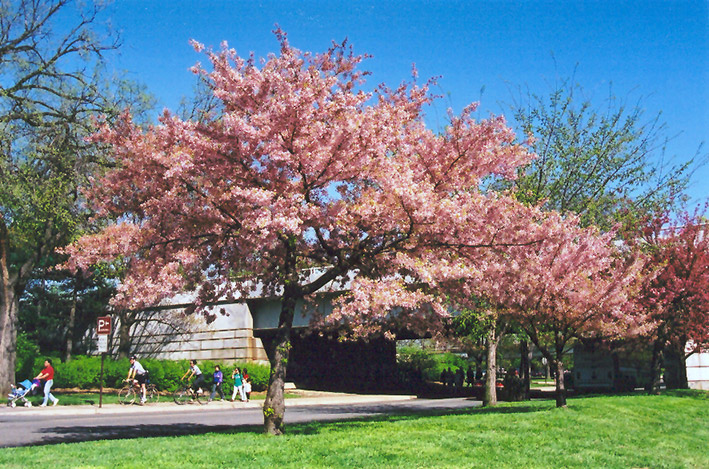 Akebono Yoshino Cherry Prunus X Yedoensis 39 Akebono 39 In