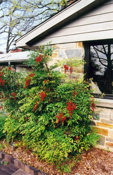 Tlc Landscaping & Garden Center Nandina nandina domestica in oklahoma city edmond norman moore nandina nandina domestica at tlc garden centers workwithnaturefo