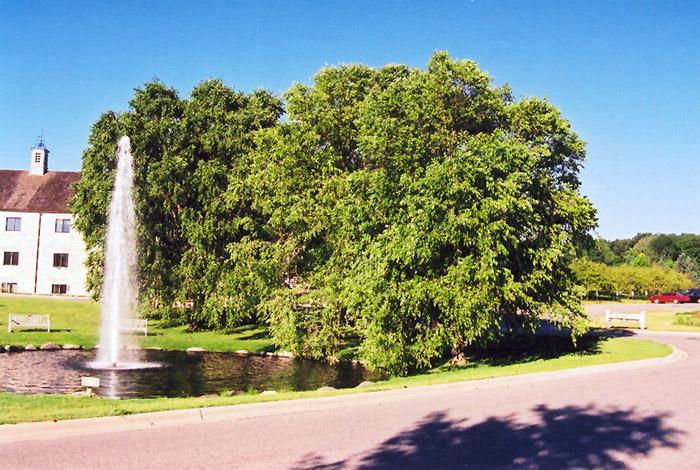River Birch (Betula Nigra) At TLC Garden Centers