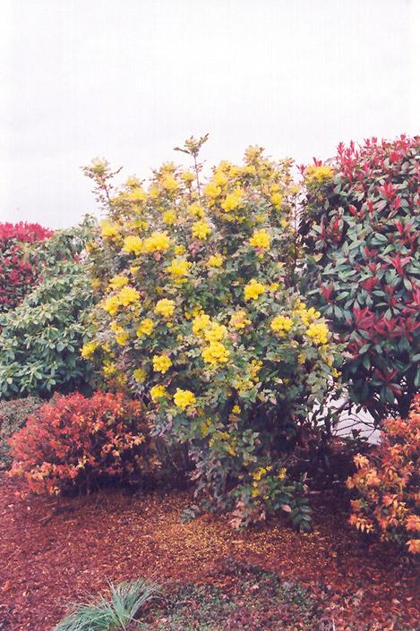 Oregon Grape Mahonia Aquifolium In Oklahoma City Edmond Norman