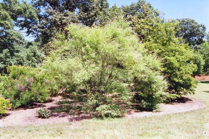 Chaste Tree Vitex Negundo In Oklahoma City Edmond Norman