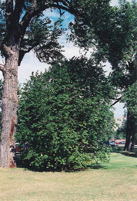 Chokecherry Prunus Virginiana In Oklahoma City Edmond