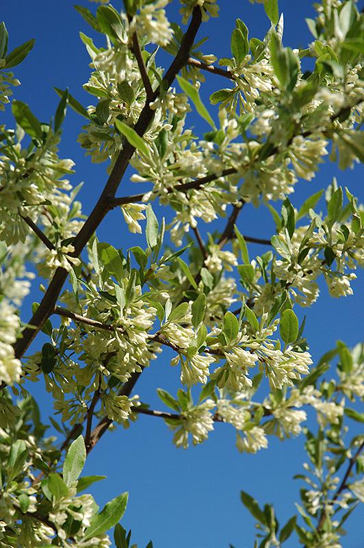 Silverberry (Elaeagnus Commutata) At TLC Garden Centers