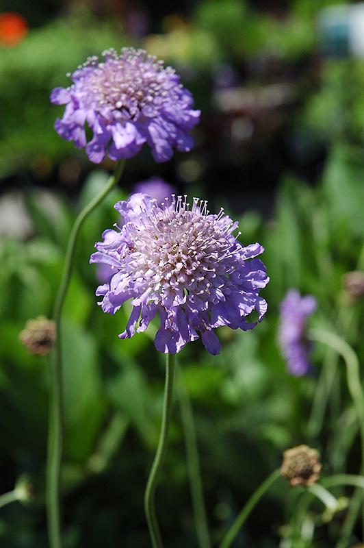 Butterfly Blue Pincushion Flower (Scabiosa U0027Butterfly Blueu0027) At TLC Garden  Centers
