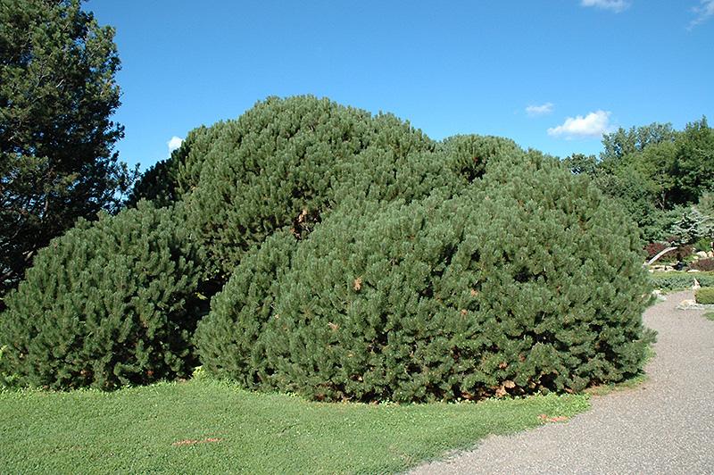 compact mugo pine pinus mugo 39 var mughus 39 in oklahoma. Black Bedroom Furniture Sets. Home Design Ideas