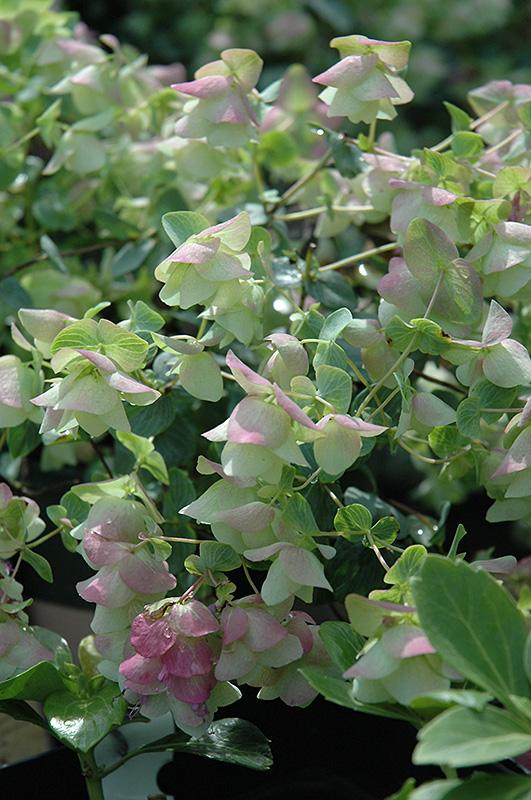 Kent beauty oregano origanum rotundifolium kent beauty in kent beauty oregano origanum rotundifolium kent beauty at tlc garden centers workwithnaturefo