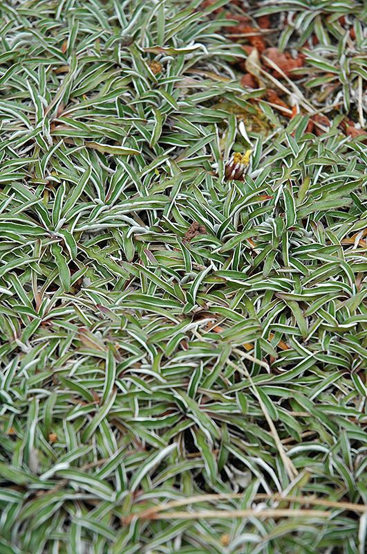 Silver Carpet Dymondia Margaretae In Oklahoma City