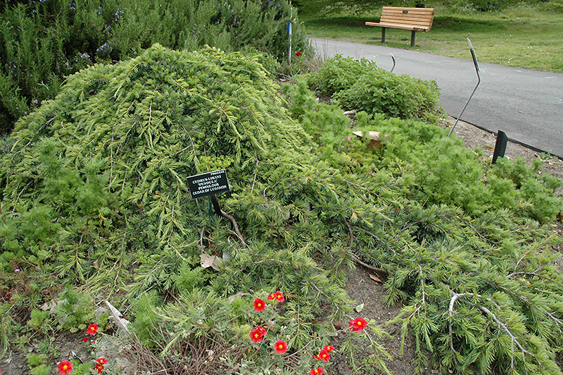 Tlc Landscaping & Garden Center Weeping cedar of lebanon cedrus libani pendula in oklahoma city weeping cedar of lebanon cedrus libani pendula at tlc garden centers workwithnaturefo