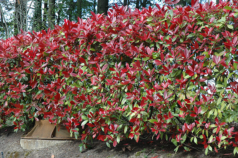 photinia red robin flower egardens plantsonline shrubs. Black Bedroom Furniture Sets. Home Design Ideas