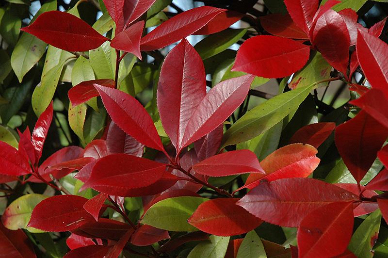 Red Robin Photinia (Photinia X Fraseri U0027Red Robinu0027) At TLC Garden Centers
