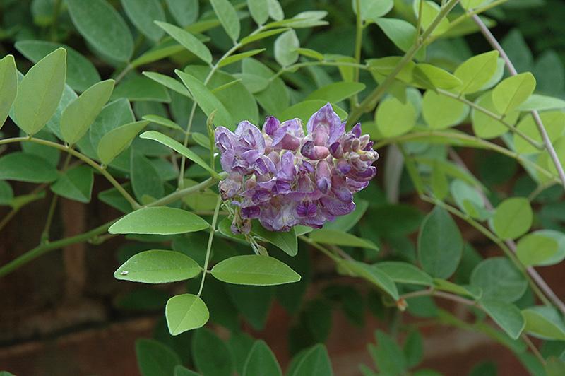 Amethyst Falls Wisteria (Wisteria Frutescens U0027Amethyst Fallsu0027) At TLC  Garden Centers