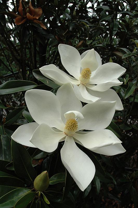 Little Gem Magnolia Magnolia Grandiflora 39 Little Gem 39 In
