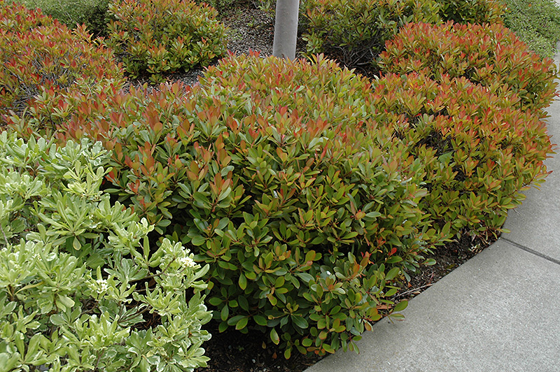 Indian Hawthorn (Rhaphiolepis Indica) At TLC Garden Centers