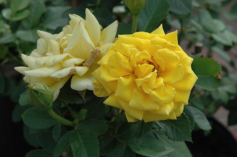 Shockwave Rose Rosa 39 Shockwave 39 In Oklahoma City Edmond