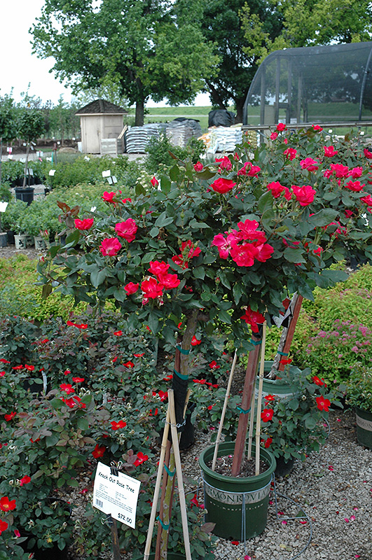 Knock Out® Rose Tree (Rosa \'Radrazz\') in Oklahoma City Edmond Norman ...