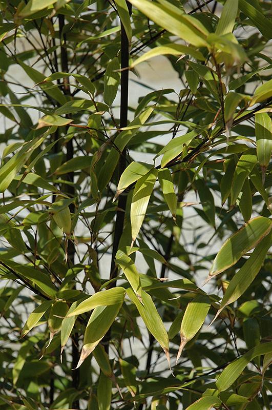 Black Bamboo (Phyllostachys Nigra) At TLC Garden Centers