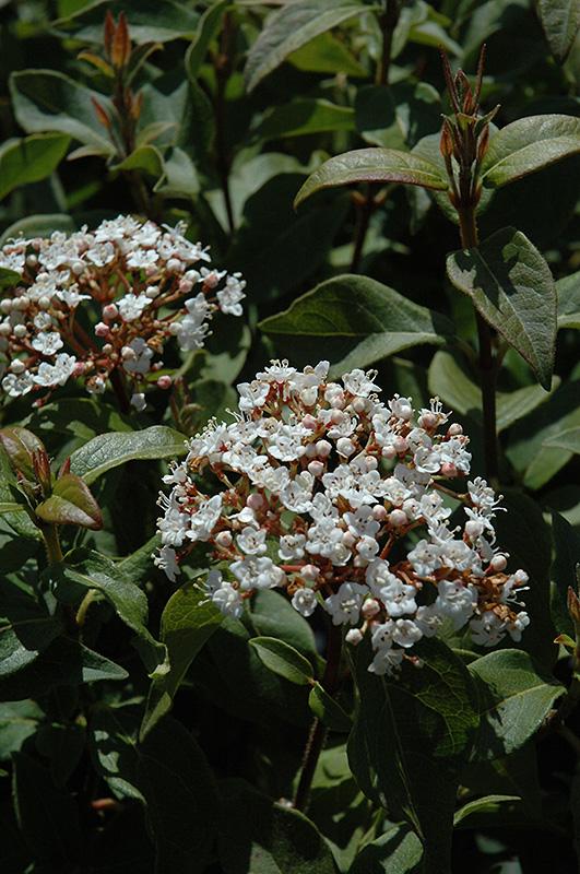 Spring Bouquet Viburnum (Viburnum Tinus U0027Spring Bouquetu0027) At TLC Garden  Centers