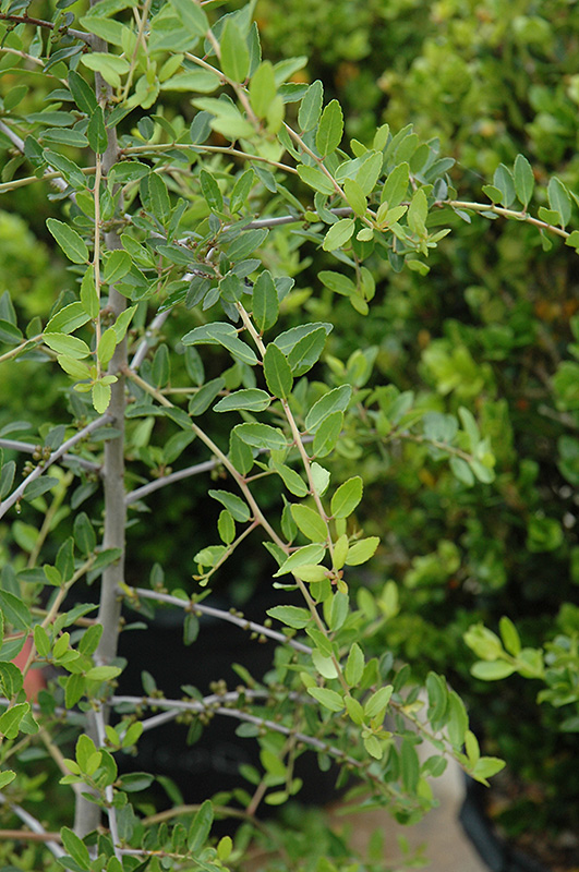 Beautiful Weeping Yaupon Holly (Ilex Vomitoria U0027Pendulau0027) At TLC Garden Centers