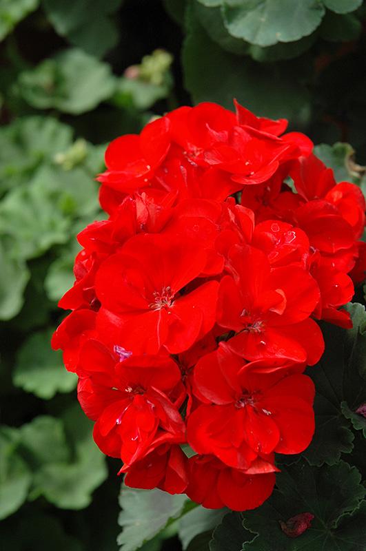 Rocky Mountain Dark Red Geranium (Pelargonium U0027Rocky Mountain Dark Redu0027) At  TLC