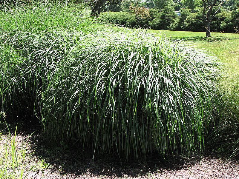 Adagio Maiden Grass Miscanthus Sinensis 39 Adagio 39 In