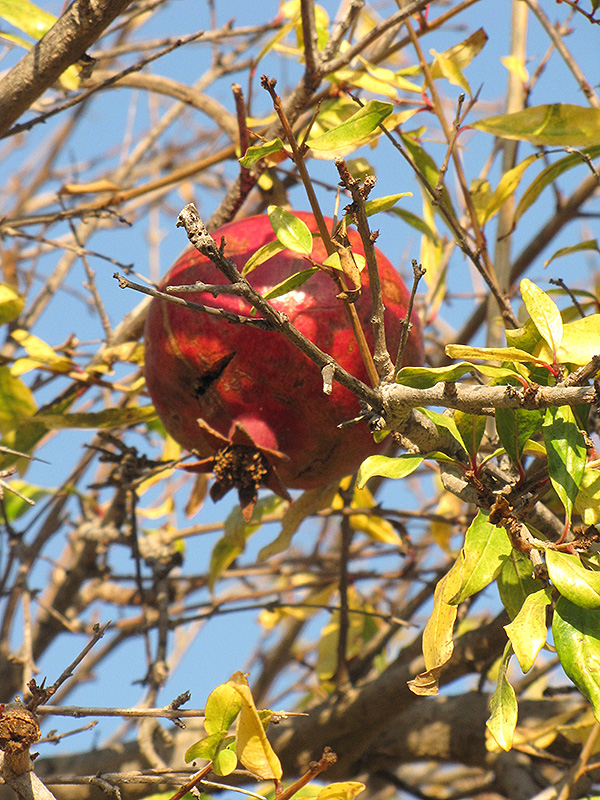 Pomegranate (Punica Granatum) At TLC Garden Centers