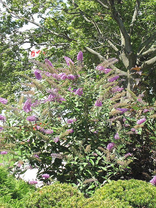 Pink Delight Butterfly Bush Buddleia Davidii 39 Pink