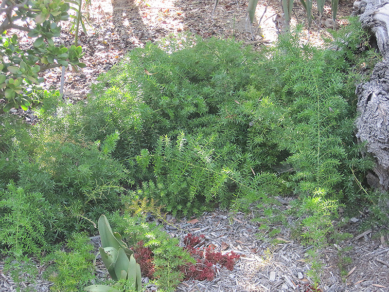 Sprengeri Asparagus Fern (Asparagus Densiflorus U0027Sprengeriu0027) At TLC Garden  Centers