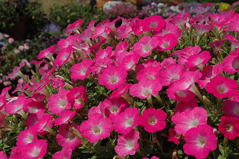Surfinia Bouquet Hot Pink Petunia (Petunia U0027Surfinia Bouquet Hot Pinku0027) At  TLC