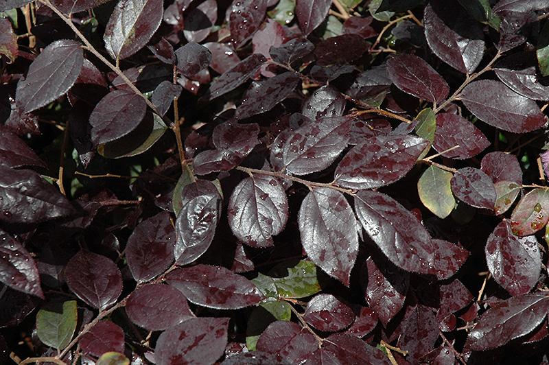 Ever Red Fringeflower (Loropetalum Chinense U0027Chang Nian Hongu0027) At TLC  Garden Centers