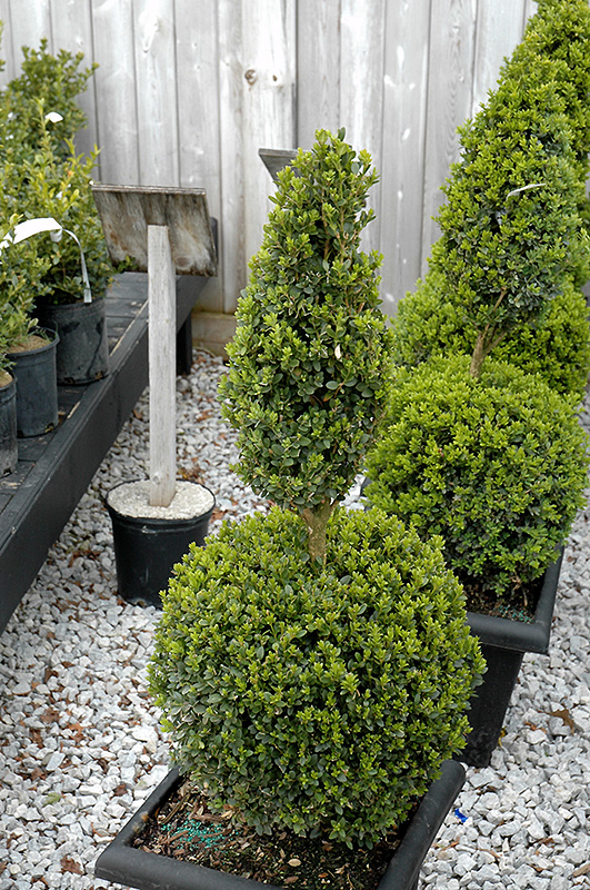green mountain boxwood poodle form buxus green mountain poodle - Tlc Garden Center