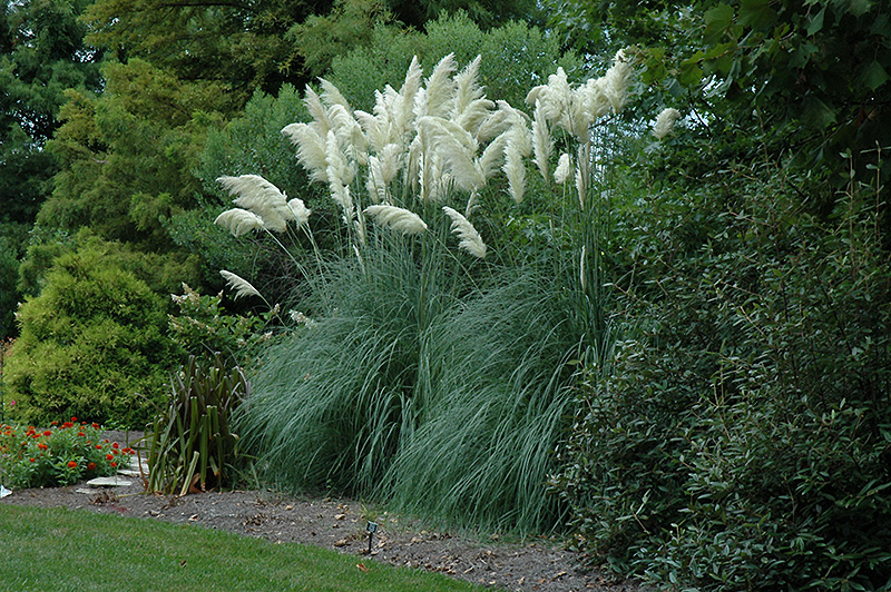Pampas grass cortaderia selloana in oklahoma city edmond for Landscaping ideas with pampas grass