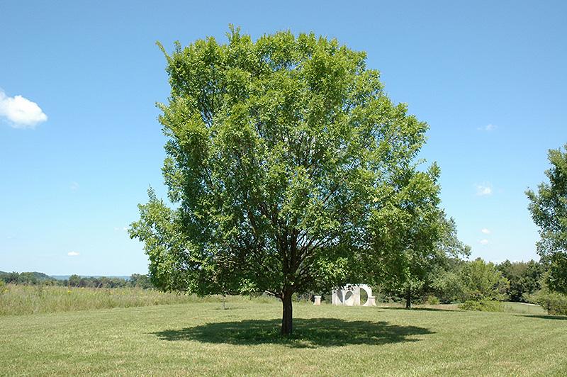 Lacebark Elm (Ulmus Parvifolia) At TLC Garden Centers
