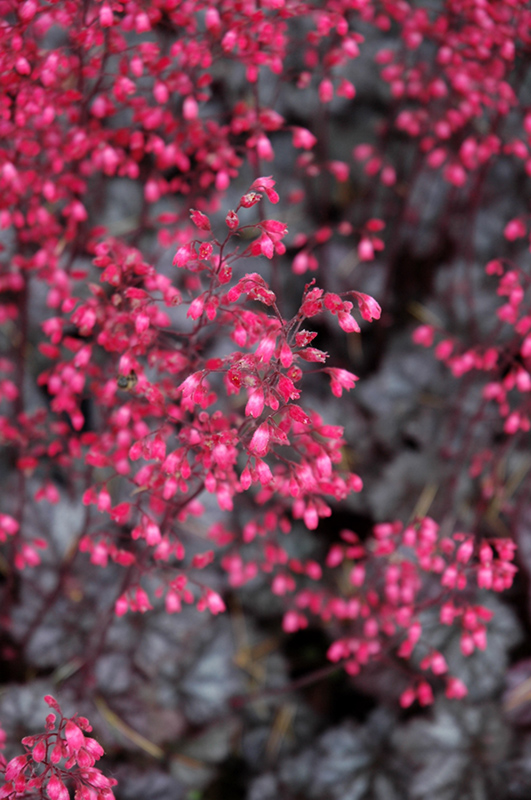 Glitter Coral Bells (Heuchera U0027Glitteru0027) At TLC Garden Centers
