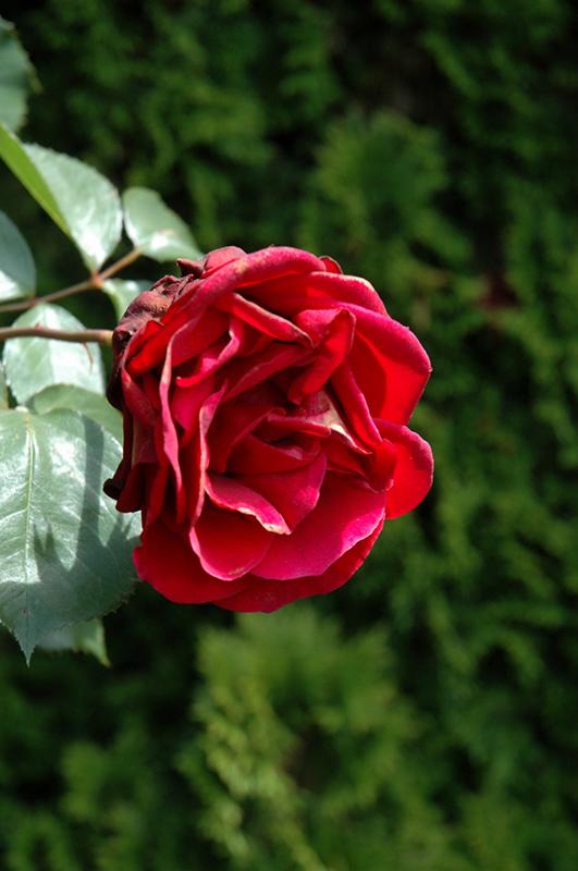 Don Juan Rose (Rosa U0027Don Juanu0027) At TLC Garden Centers