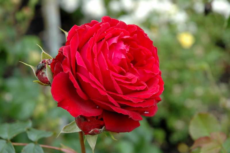 All Ablaze Rose Rosa 39 Weksamsou 39 In Oklahoma City Edmond