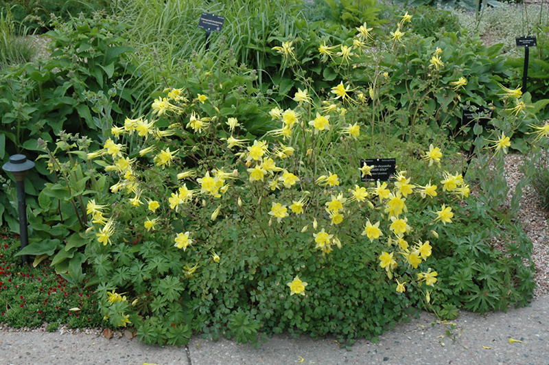 Denver Gold Columbine (Aquilegia Chrysantha U0027Denver Goldu0027) At TLC Garden  Centers