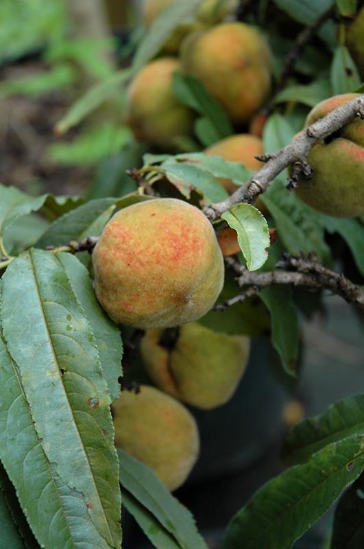 Bonfire Dwarf Ornamental Peach (Prunus Persica U0027Bonfireu0027) At TLC Garden  Centers