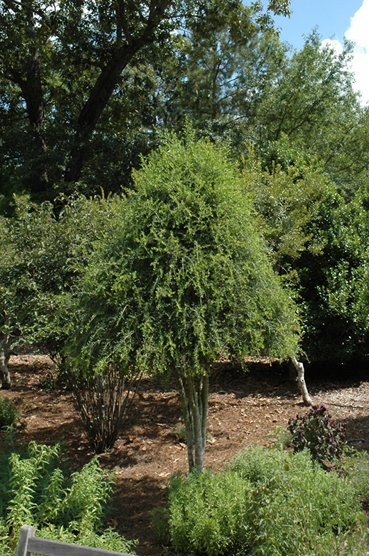 Weeping Yaupon Holly (Ilex vomitoria \'Pendula\') in Oklahoma City ...