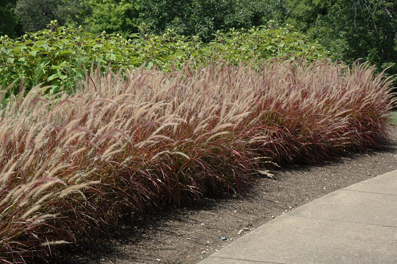 Purple fountain grass pennisetum setaceum 39 rubrum 39 in for Hardy fountain grass