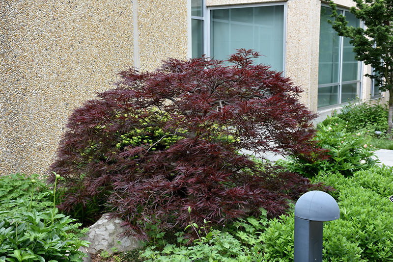 Tlc Landscaping & Garden Center Red dragon japanese maple acer palmatum red dragon in oklahoma red dragon japanese maple acer palmatum red dragon at tlc garden centers workwithnaturefo