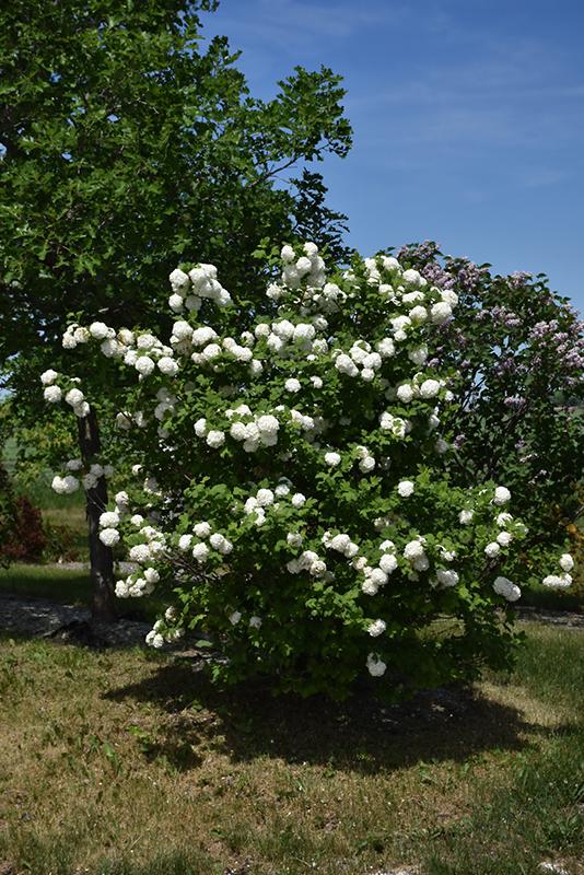Snowball Viburnum Viburnum Opulus Roseum In Oklahoma