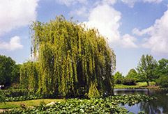 Golden Weeping Willow (Salix alba 'Tristis') at TLC Garden Centers