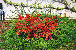 Common Flowering Quince (Chaenomeles speciosa) at TLC Garden Centers