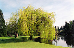 Golden Weeping Willow (Salix x sepulchralis 'Chrysocoma') at TLC Garden Centers
