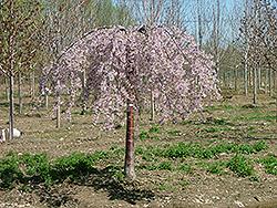 Pink Snow Showers Weeping Cherry Prunus Pisnshzam In