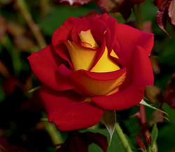 Ketchup And Mustard Rose (Rosa 'WEKzazette') at TLC Garden Centers