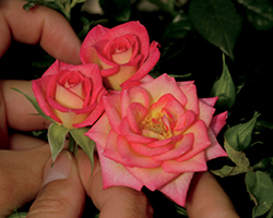 You're The One Rose (Rosa 'WEKtaclagoma') at TLC Garden Centers