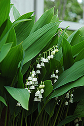 Lily-Of-The-Valley (Convallaria majalis) at TLC Garden Centers